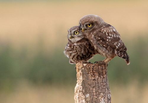 Two owl cubs Stock Photo