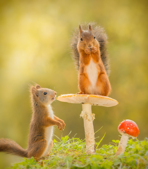 Two squirrels and mushrooms Stock Photo 01