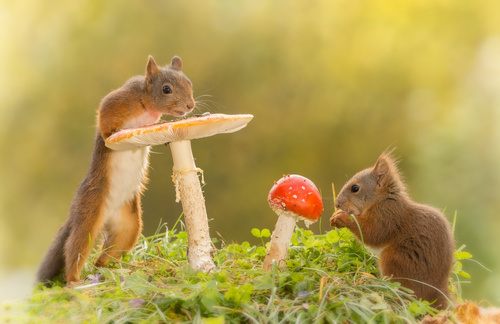 Two squirrels and mushrooms Stock Photo 02