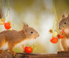 Two squirrels eating strawberries Stock Photo