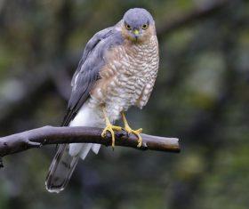 Wild Sparrowhawk Stock Photo