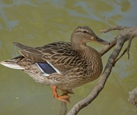 a domesticated duck on branch Stock Photo