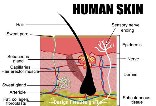 Human skn schematic vector