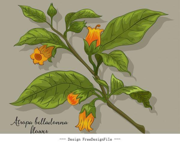 Belladonna flower blomming colored vector