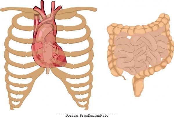 Internal organs icons flat vector