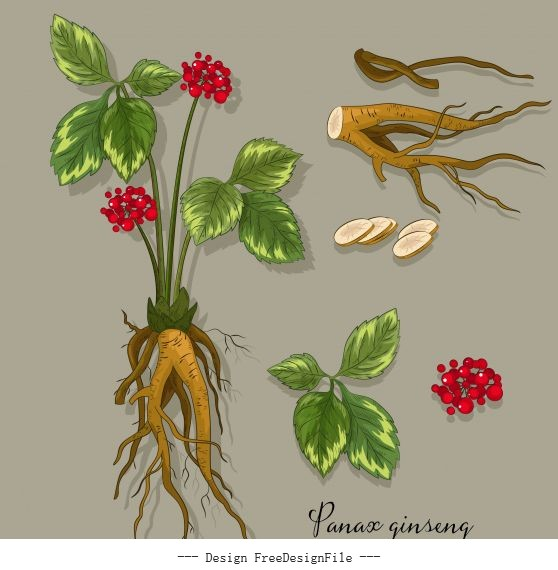 Medical plant gingseng tree parts sketch vector
