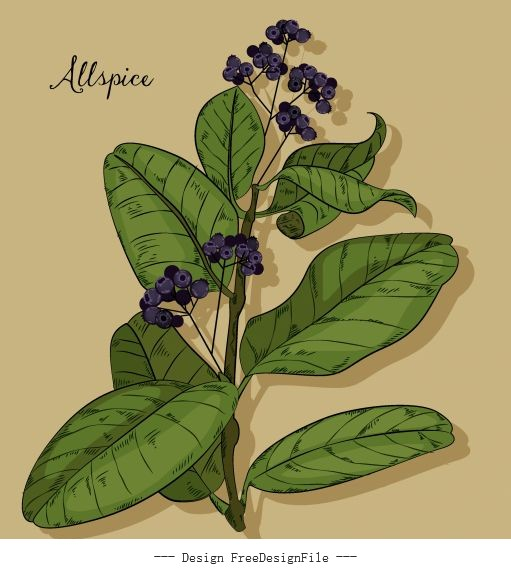 Natural allspice painting colored vintage vector