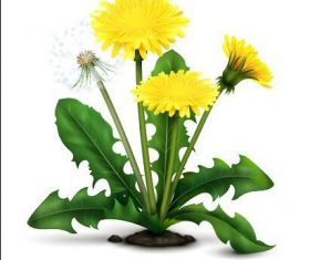 Blooming dandelions vector illustrations