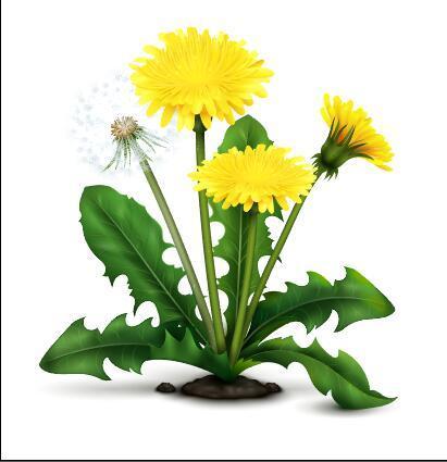 Blooming dandelions vector illustrations