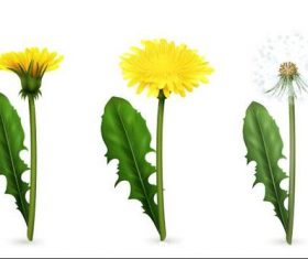 Growing dandelions vector illustrations