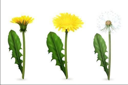 Growing dandelions vector illustrations