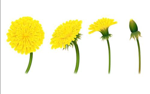 Yellow growth dandelions vector illustrations