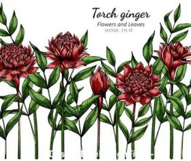 Illustration torch ginger flower and leaves vector
