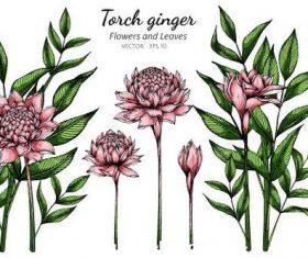 Torch ginger flower and leaves illustration vector