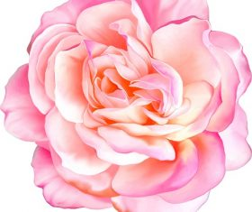 Pink Rose Flower Vector