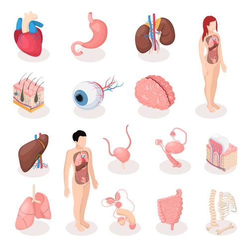 Human organs medical icon vector