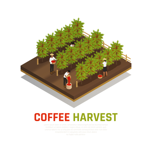 Planting coffee vector