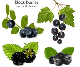 Black berries vector illustrations