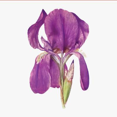 Iris flower illustration vector