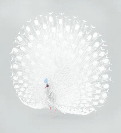 White peacock vector