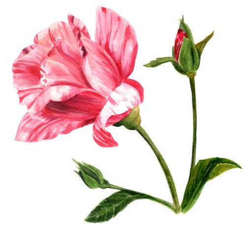 Blooming rose watercolor illustration vector