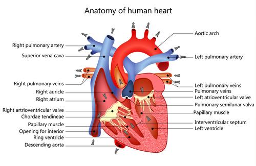 Anatomy of human heart vector