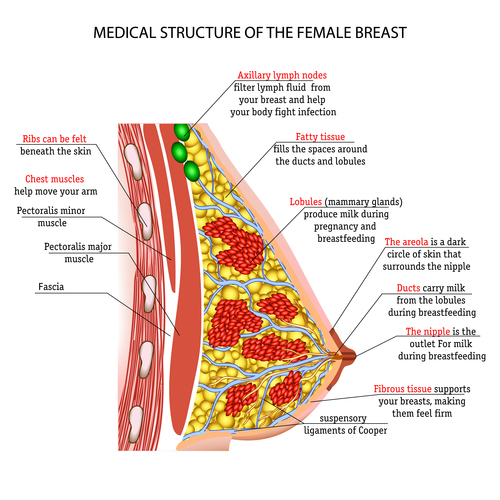 Female breast structure vector