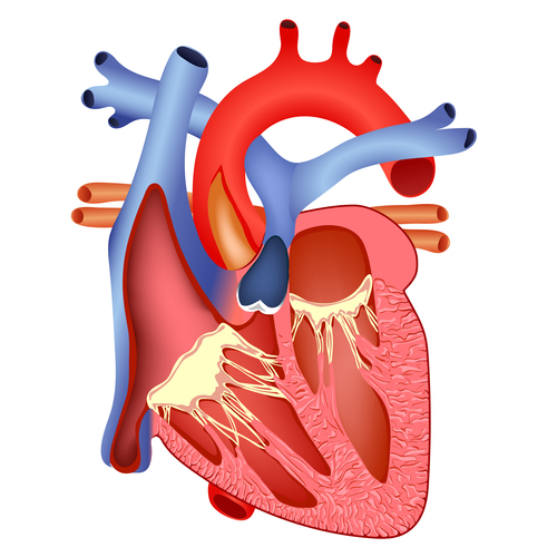 Heart planing diagram structure vector