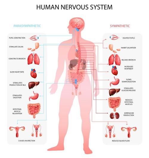Human sympathetic nervous system vector
