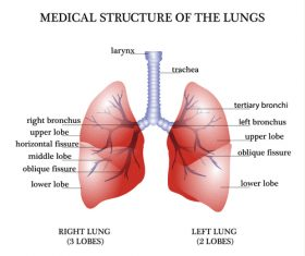 Medical structure of the luncs vector