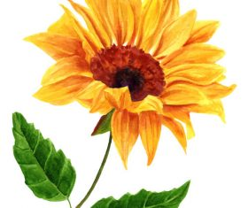 Sun flower watercolor illustration vector
