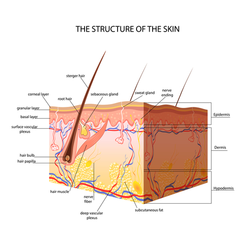 The structure of the skin vector