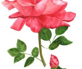 Vibrant rose watercolor illustration vector